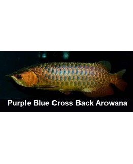 Adult  Cross Back arowana (A grade)  @ +/-60cm size Bundle Deal offer!           3pc for $1798.00nett