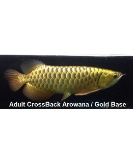 Adult  Cross Back arowana (AA grade)  @ +/-60cm size Bundle Deal offer!           3pc for $2598.00nett