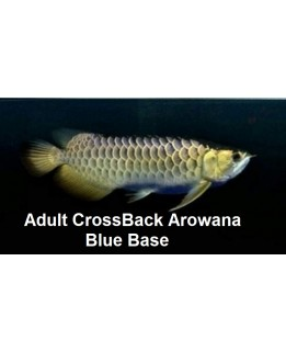 Adult  Cross Back arowana (AAA grade)  @ +/-60cm size Bundle Deal offer!           3pc for $3398.00nett