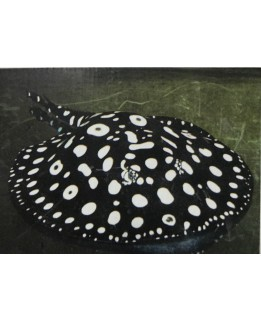 Adult  Black Diamond Stingray (AAA grade) @ +/-60cm size